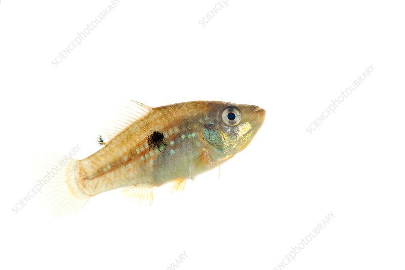 American flagfish Everglades National Park, Florida, USA