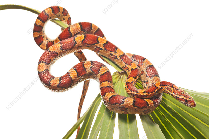 Corn snake coiled on palmetto