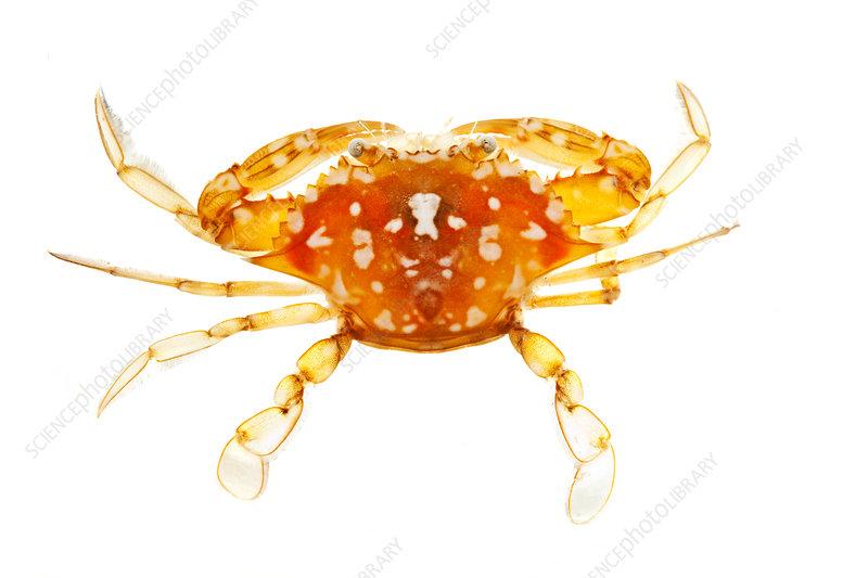 Sargassum crab Biscayne National Park, Florida, USA