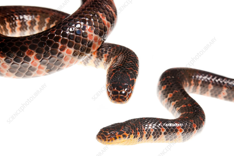 Eastern mud snake two snakes