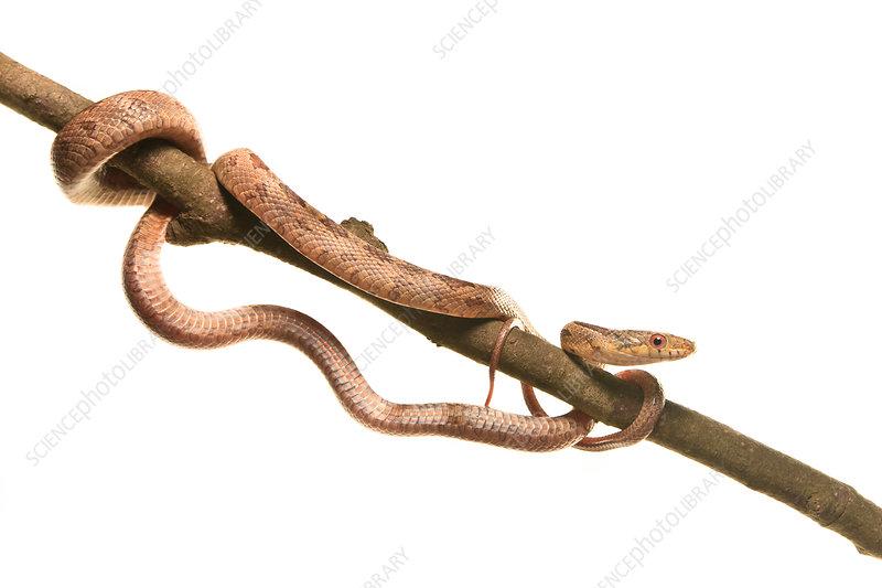 Yellow rat snake juvenile
