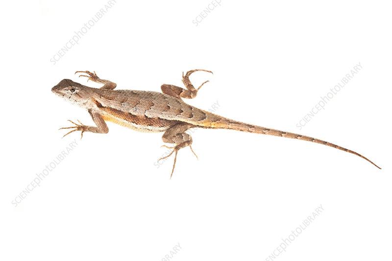 Florida scrub lizard female