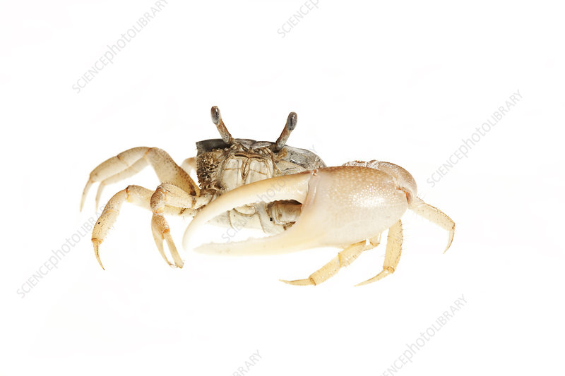 Fiddler crab Florida, USA