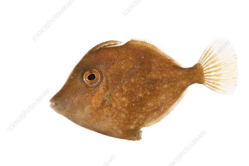 Fringed filefish Florida, USA