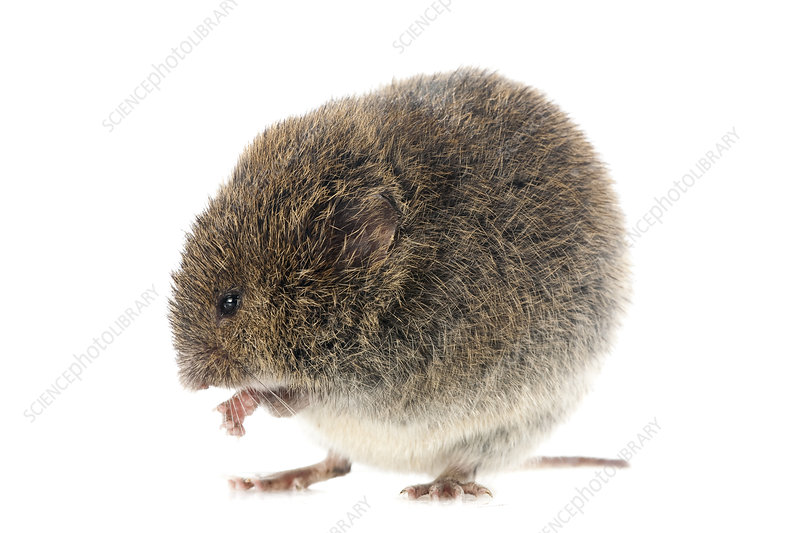 Field vole grooming, Pyrenees, France