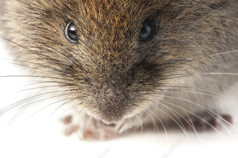 Bank vole portrait, woodlands, Pyrenees, France