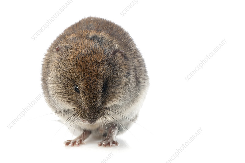 Bank vole grooming, Pyrenees, France