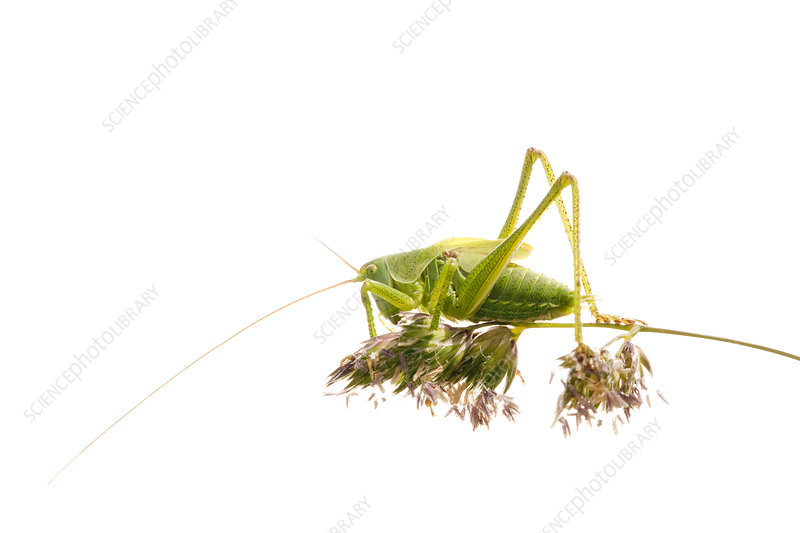 bush cricket on a grass flower