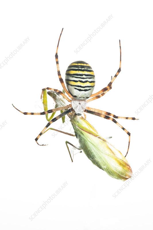 Bruennichi's orb web spider with European praying mantis