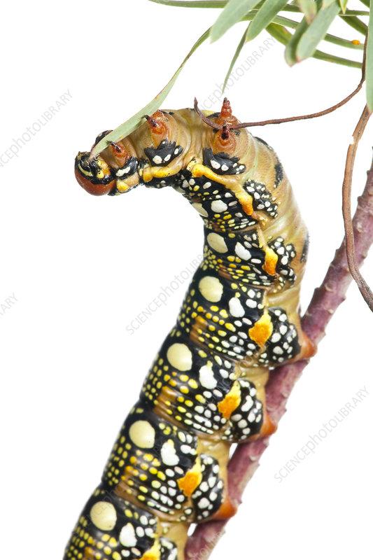 Caterpillar larva of Spurge Hawkmoth feeding on Euphorbia