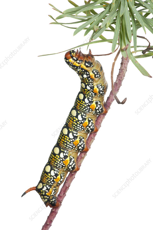 Caterpillar larva of Spurge Hawkmoth feeding on Euphorbia