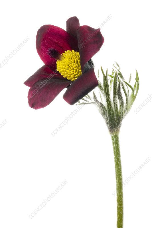 Red pasque flower (Pulsatilla vulgaris 'rubra')