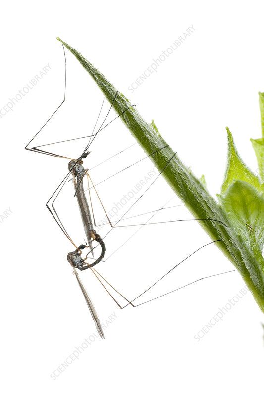 Crane flies mating