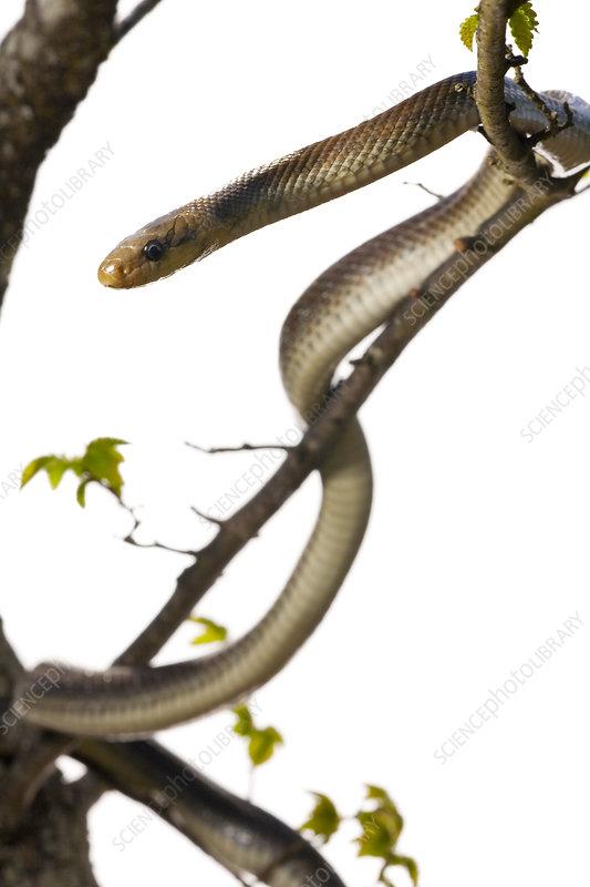Aesculapian snake in tree