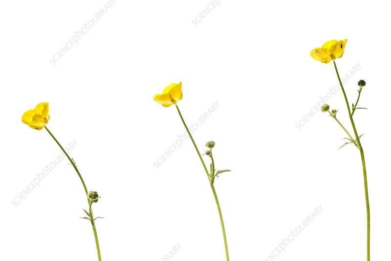 Buttercup (Ranunculus acris) flowers