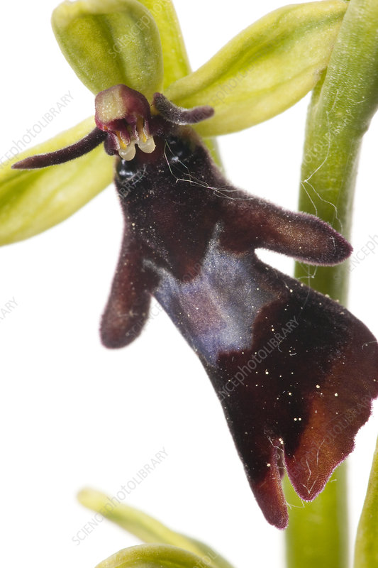 Fly orchid (Ophrys insectifera) close up of flower