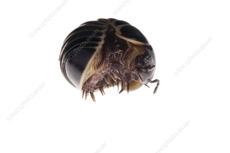 Pill millipede rolled up for defence