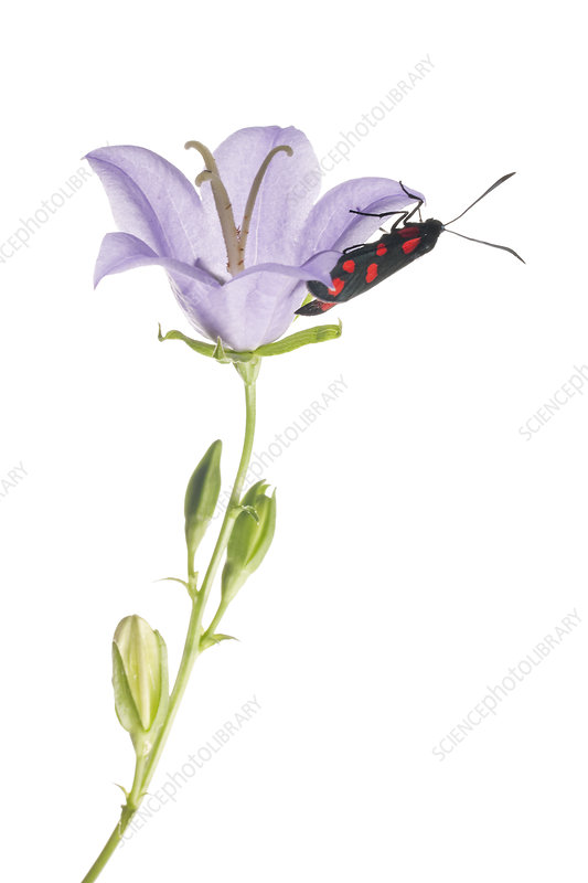 Six-spot burnet moth on Peach-leaved bellflower