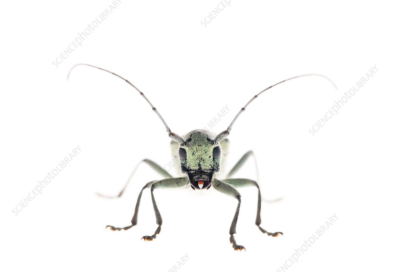 Eight point longhorn beetle