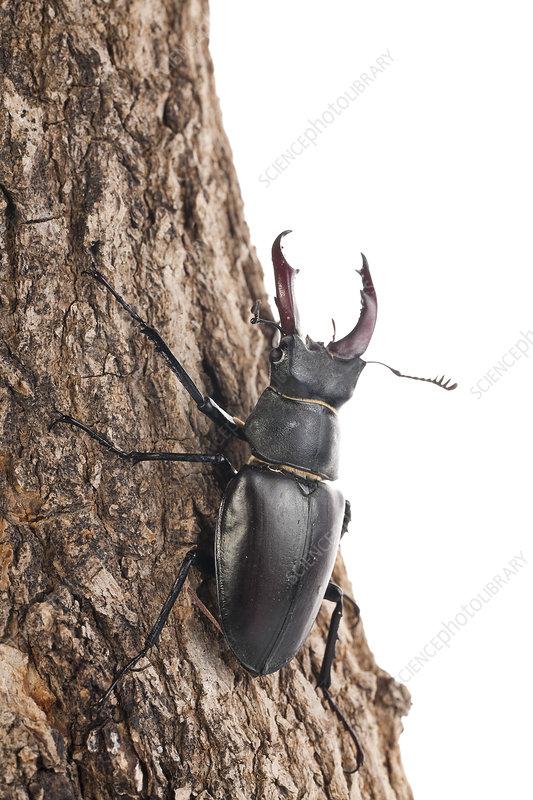 Male Stag beetle on tree bark