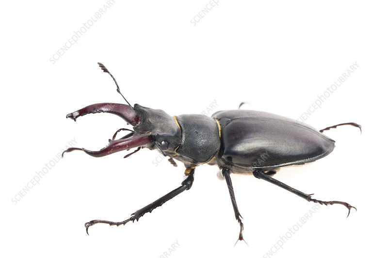 Male Stag beetle woodland