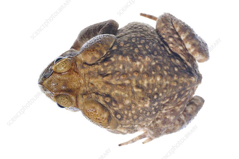 Giant marine toad defensive posture, Gamboa, Panama