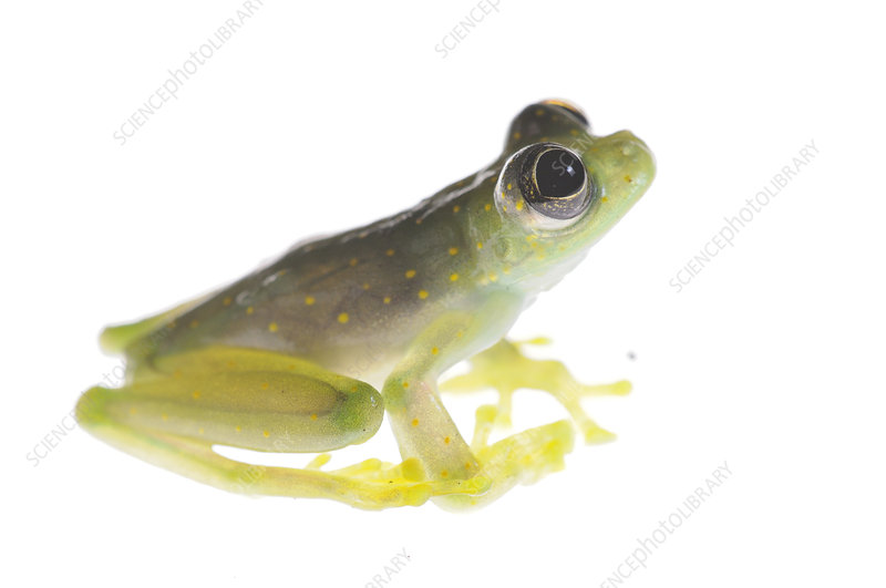 White spotted glass frog