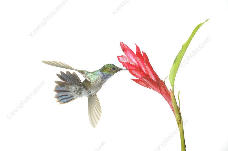 Sapphire throated hummingbird feeding from flower