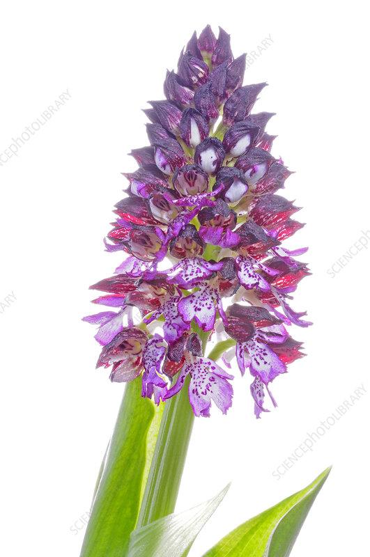 Lady orchid (Orchis purpurea) Sierra de Mariola, Spain