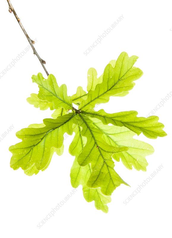 Pedunculate oak leaf (Quercus sp)