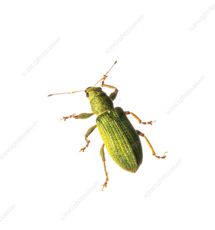 Weevil found in