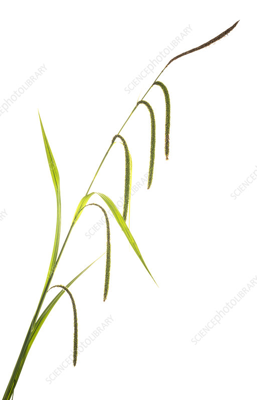 Pendulous sedge (Carex pendula)