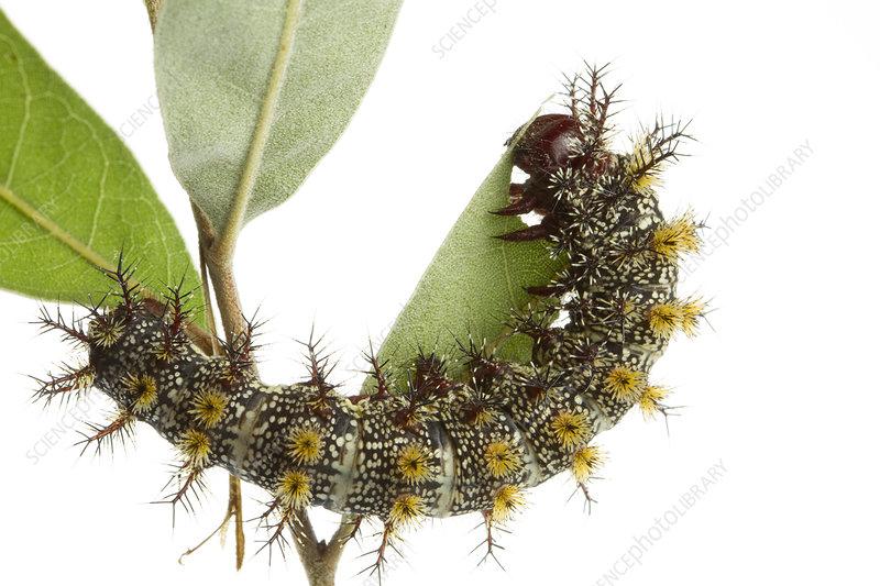 Caterpillar larva of Buck moth feeding on leaf