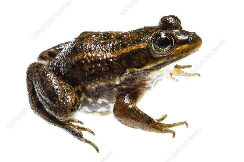 Carpenter frog, Richmond County, North Carolina, USA