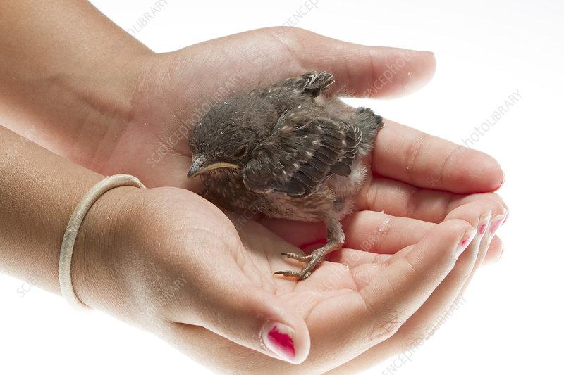 Eastern bluebird chick held in hand