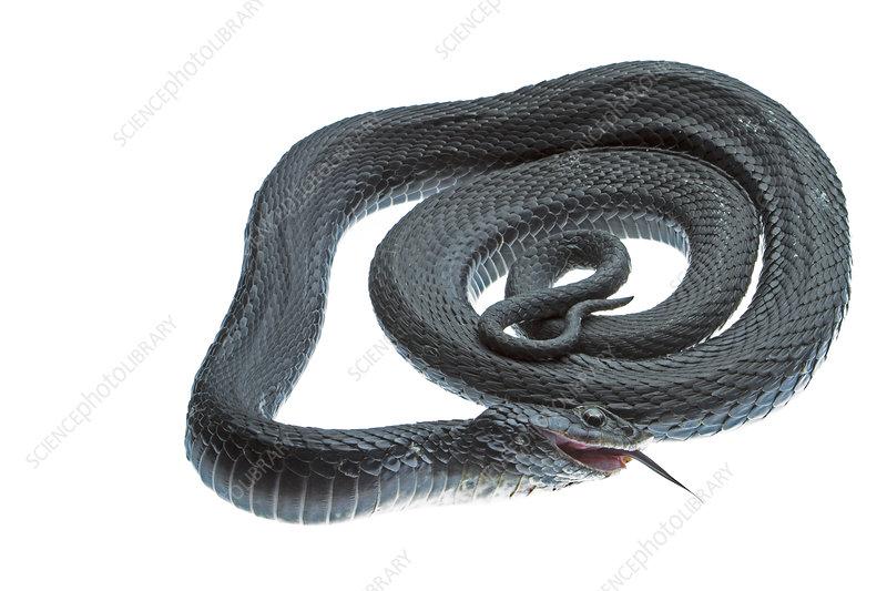 Eastern hognose snake coiled
