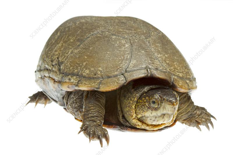 Eastern mud turtle, Richmond County, North Carolina, USA