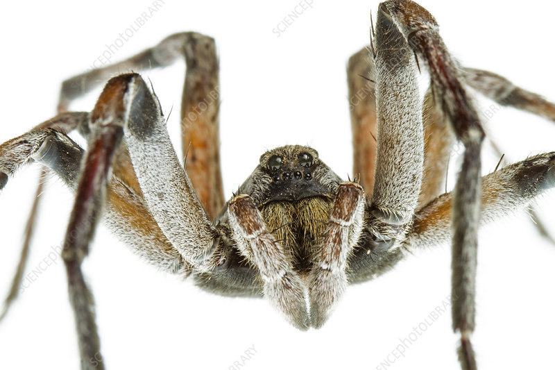 Close up of mouthparts of Funnel weaver spider