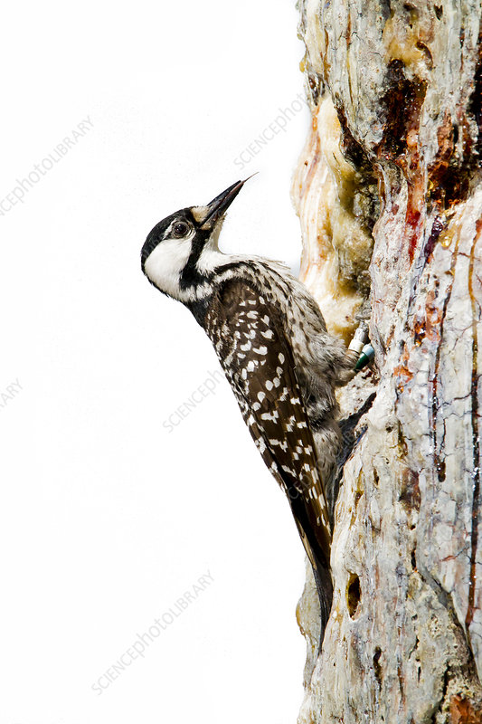 Red-cockaded Woodpecker feeding on tree trunk