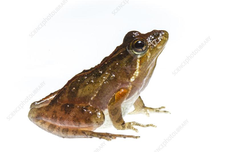 Southern cricket frog, North Carolina, USA