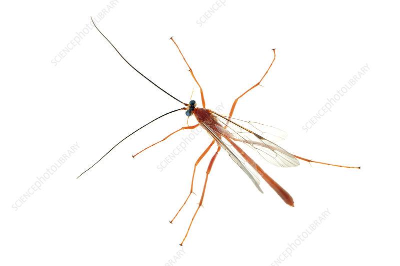 Parasitic wasp tropical rainforest, Sao Paulo, Brazil