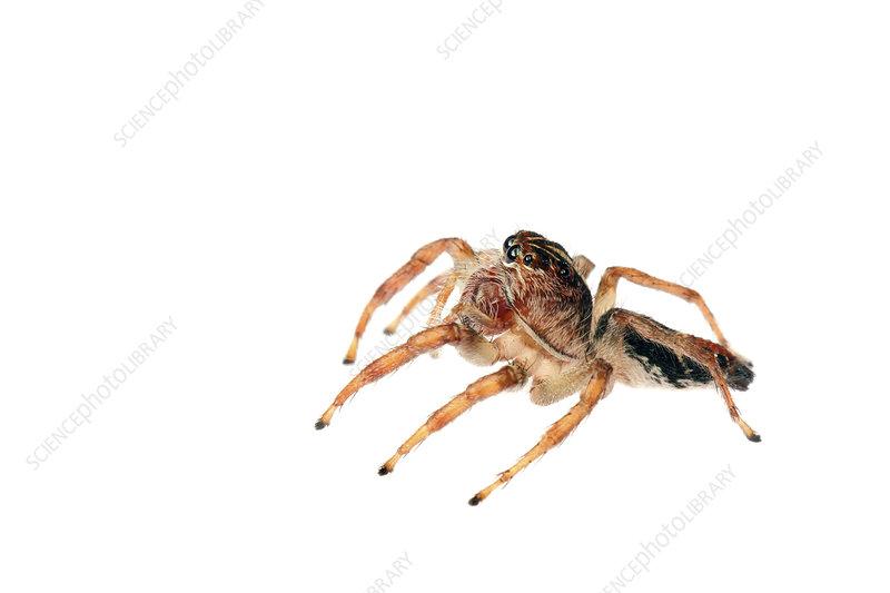 Jumping spider urban, Sorocaba, Sao Paola, Brazil