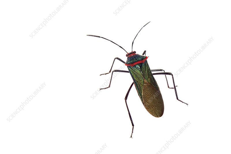Shield bug urban, Sorocaba, Sao Paulo, Brazil