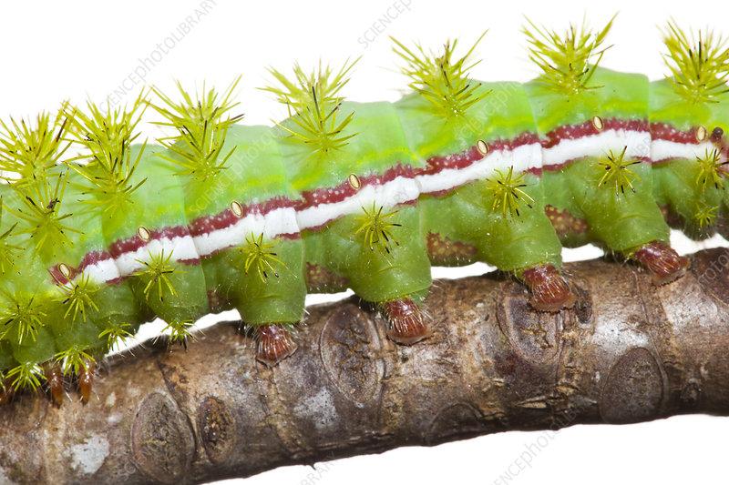 Close up of legs of caterpillar larva of Io moth