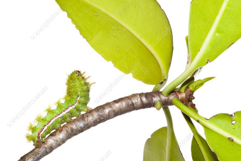 Caterpillar larva of Io moth reaching up to mangrove leaves