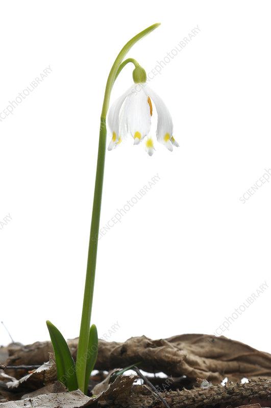 Spring snowflake (Leucojum vernum) in flower