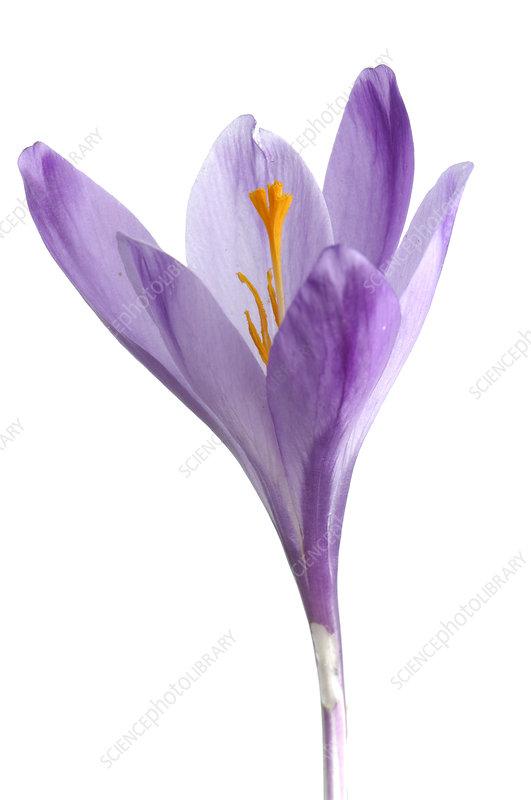Spring crocus (Crocus angustifolius) in flower