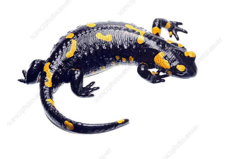 Fire salamander female displaying, Kostel, Slovenia
