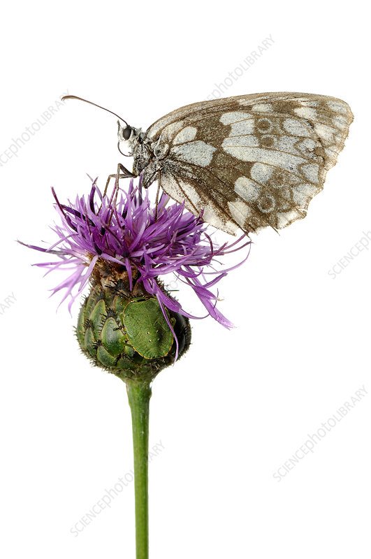 Marbled white butterfly and camouflaged Southern green stink