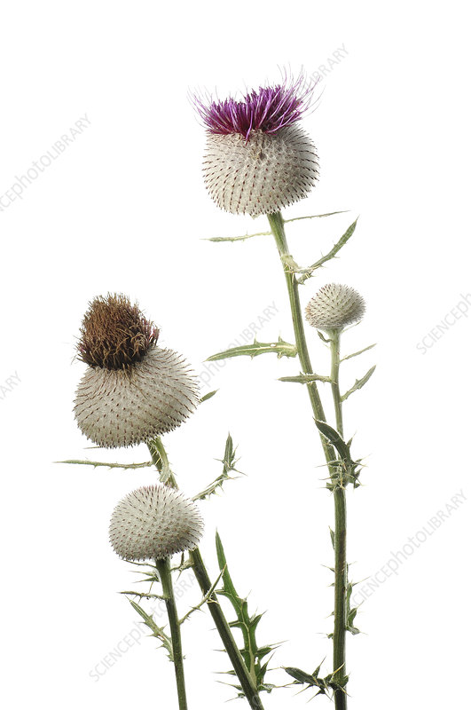 Woolly thistle (Cirsium eriophorum) in flower